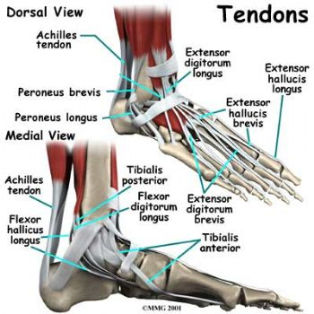 Just for Rhonda-Pics of the actual tendons and problems... BLOG ...