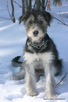 Schnauzer Or Wolfhound Puppy Pics