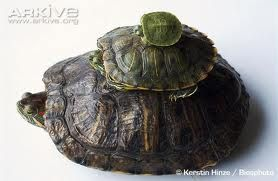 ... Turtles and Tortoises for Food and Territory. They were introduced to
