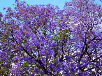 The Purply Blue Flowers Of Beautiful Jacaranda Tree Are Something I Ve Loved Since Childhood There Was One In Our Garden At Chandigarh