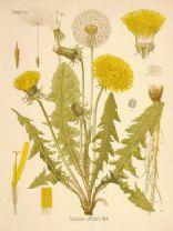 Salade de pissenlits (Dandelion Salad)