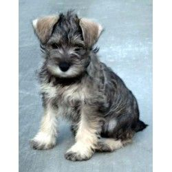 Schnauzer Or Wolfhound Puppy Pics Not Weight Loss Related
